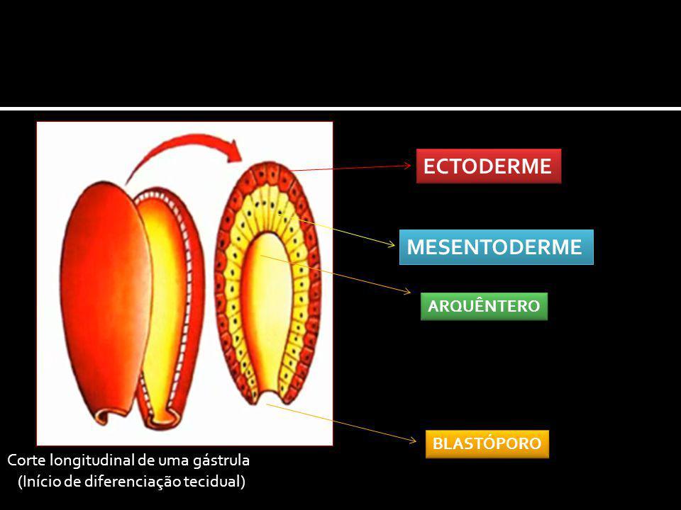 ECTODERME MESENTODERME ARQUÊNTERO BLASTÓPORO