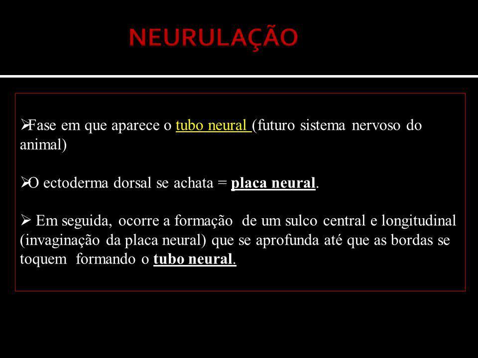 NEURULAÇÃO Fase em que aparece o tubo neural (futuro sistema nervoso do animal) O ectoderma dorsal se achata = placa neural.