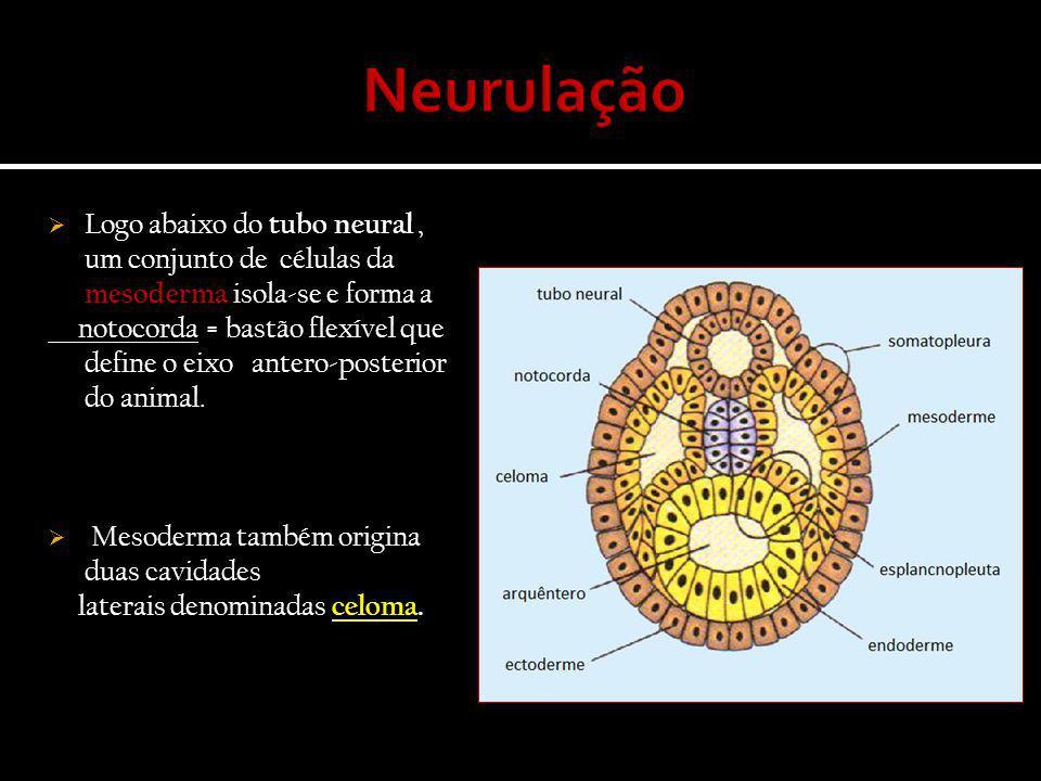 Neurulação Logo abaixo do tubo neural , um conjunto de células da mesoderma isola-se e forma a.