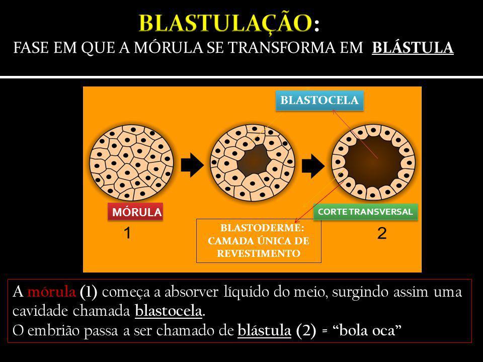 BLASTODERME: CAMADA ÚNICA DE REVESTIMENTO