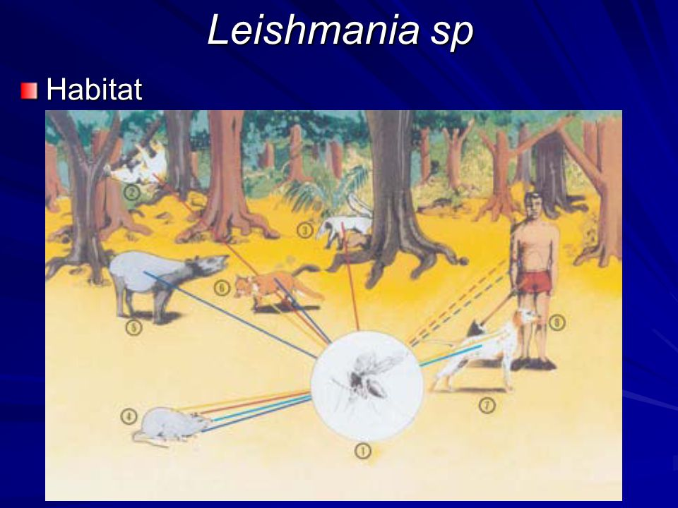 Leishmania sp Habitat