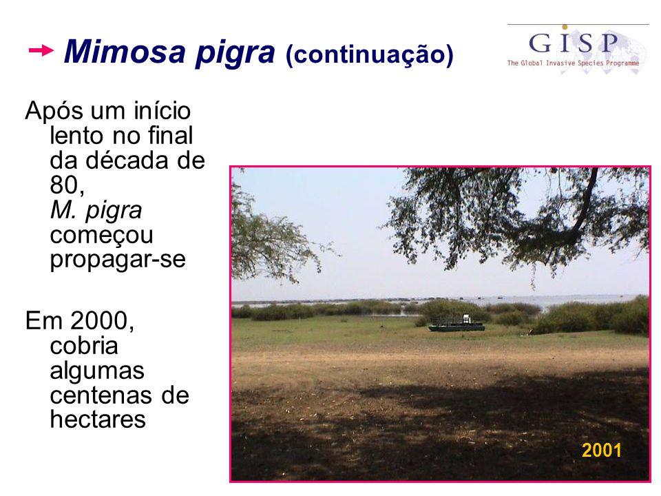 Mimosa pigra (continuação)