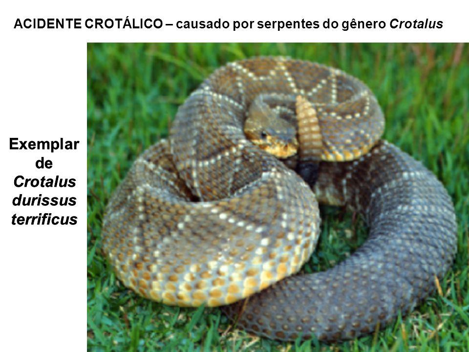 Exemplar de Crotalus durissus terrificus