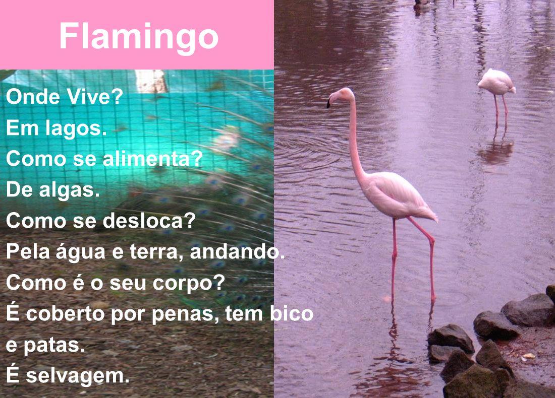 Flamingo Onde Vive Em lagos. Como se alimenta De algas.