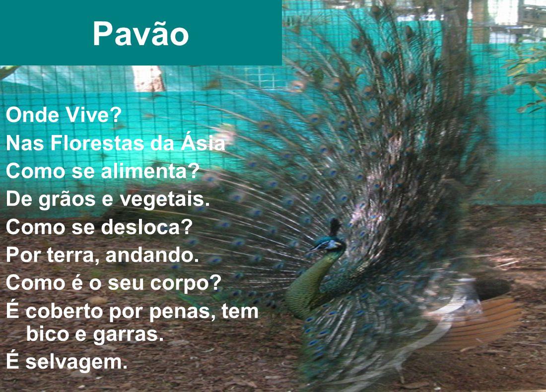 Pavão Onde Vive Nas Florestas da Ásia Como se alimenta