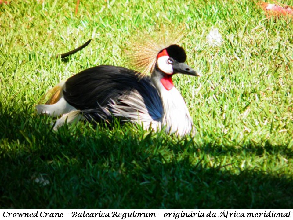 Crowned Crane – Balearica Regulorum – originária da África meridional
