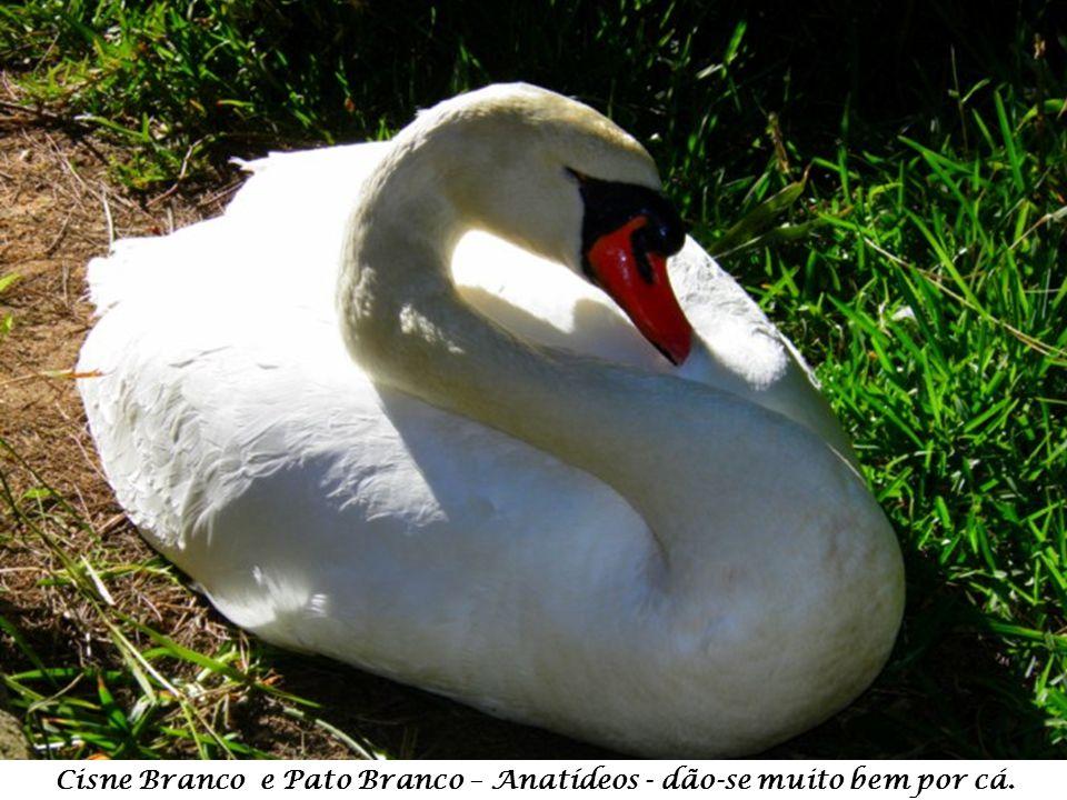Cisne Branco e Pato Branco – Anatídeos - dão-se muito bem por cá.