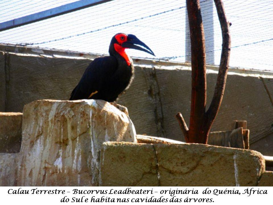 Calau Terrestre – Bucorvus Leadbeateri – originária do Quénia, África do Sul e habita nas cavidades das árvores.