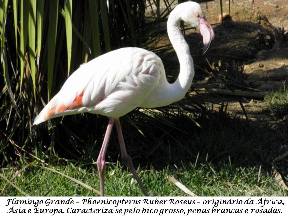 Flamingo Grande – Phoenicopterus Ruber Roseus – originário da África, Ásia e Europa.