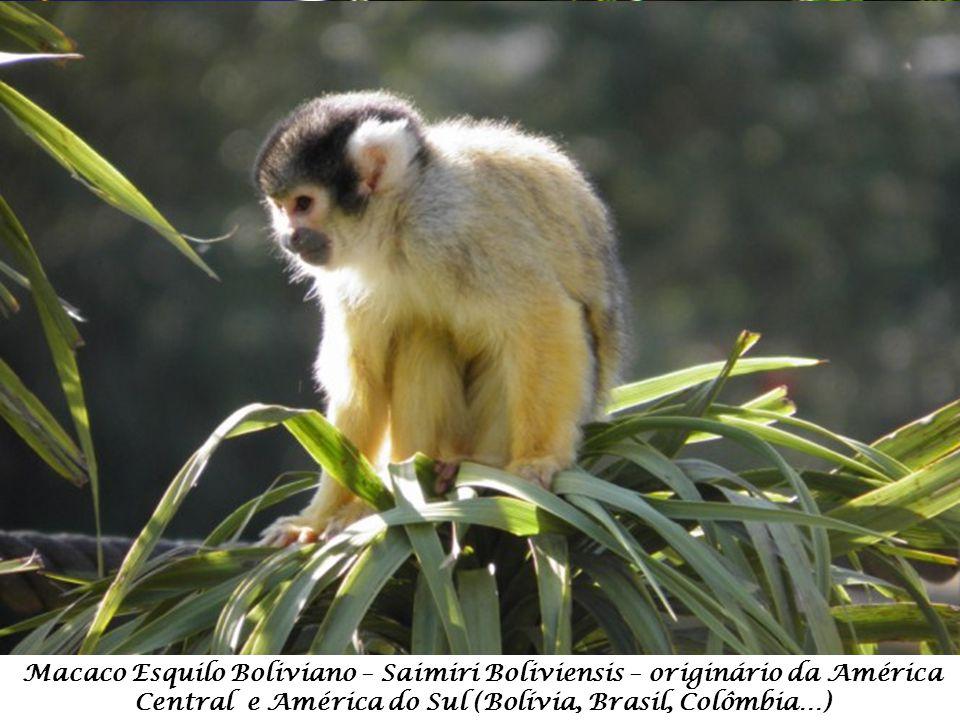 Macaco Esquilo Boliviano – Saimiri Boliviensis – originário da América Central e América do Sul (Bolívia, Brasil, Colômbia…)