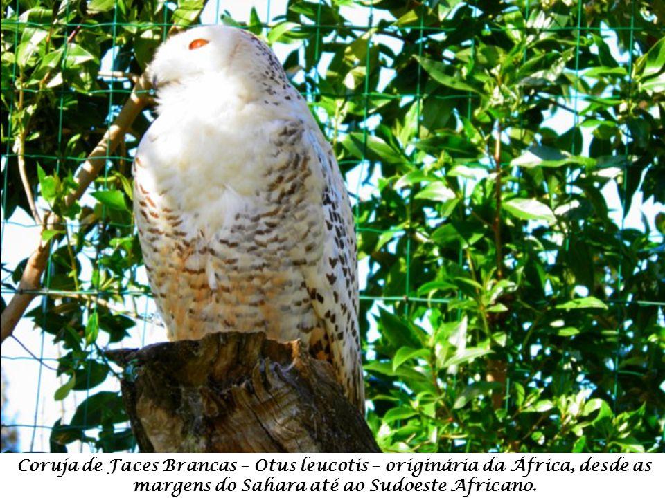 Coruja de Faces Brancas – Otus leucotis – originária da África, desde as margens do Sahara até ao Sudoeste Africano.