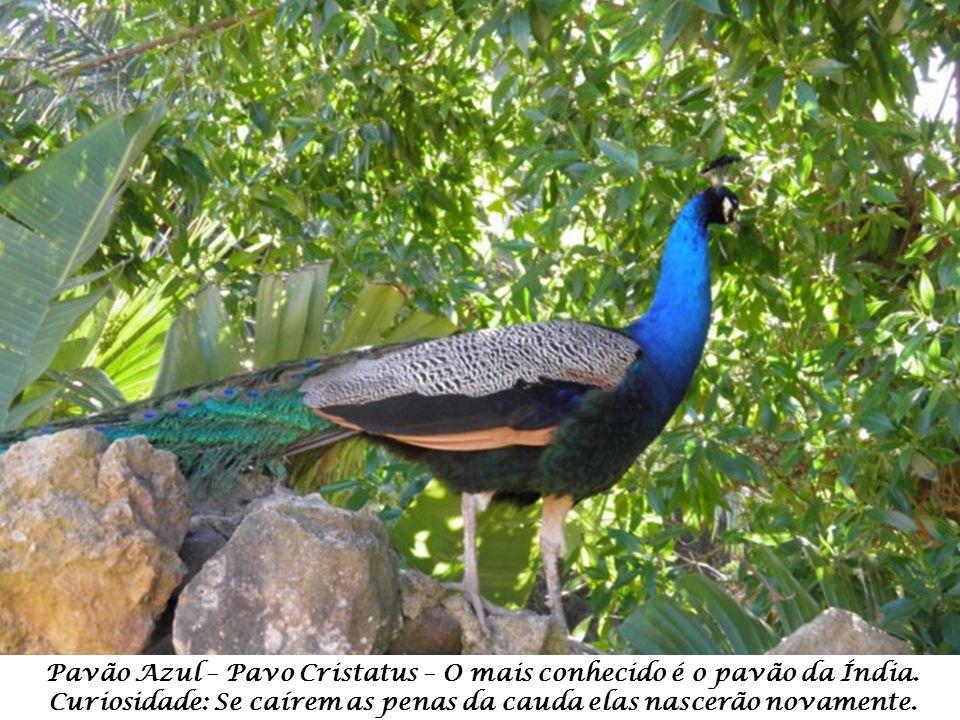 Pavão Azul – Pavo Cristatus – O mais conhecido é o pavão da Índia