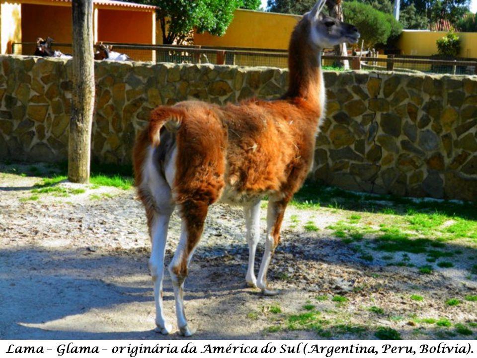 Lama – Glama – originária da América do Sul (Argentina, Peru, Bolívia).