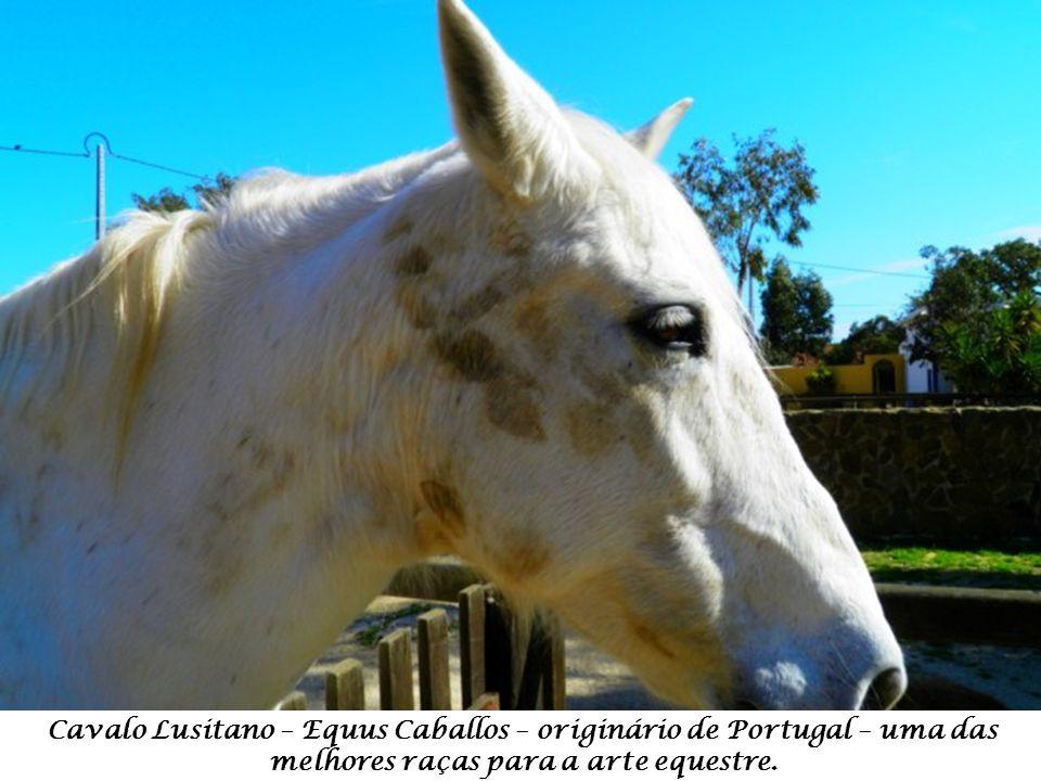 Cavalo Lusitano – Equus Caballos – originário de Portugal – uma das melhores raças para a arte equestre.