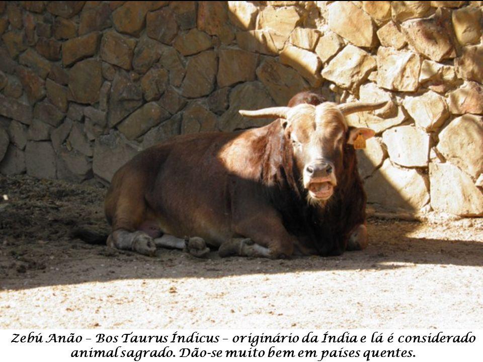 Zebú Anão – Bos Taurus Índicus – originário da Índia e lá é considerado animal sagrado.