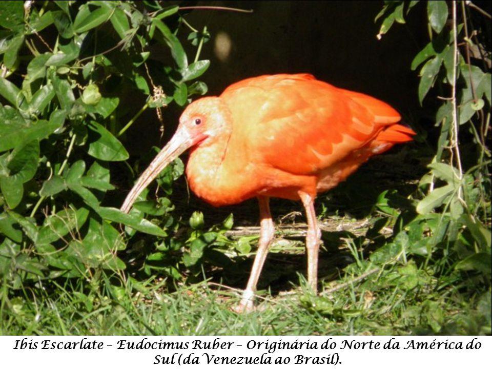 Ibis Escarlate – Eudocimus Ruber – Originária do Norte da América do Sul (da Venezuela ao Brasil).