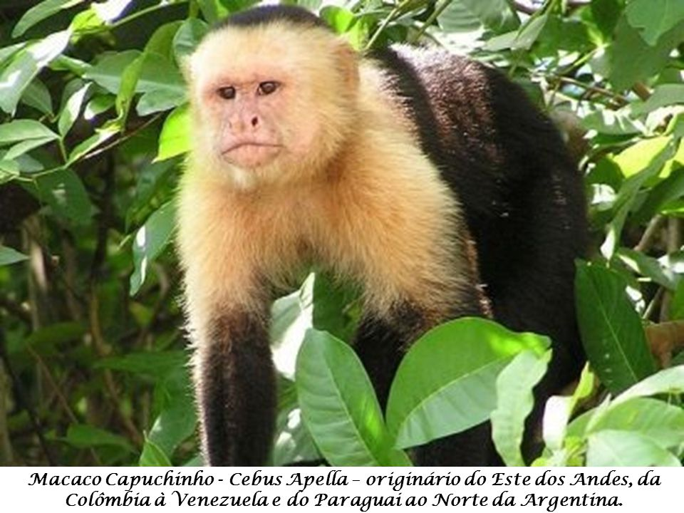 Macaco Capuchinho - Cebus Apella – originário do Este dos Andes, da Colômbia à Venezuela e do Paraguai ao Norte da Argentina.
