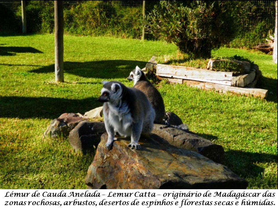 Lémur de Cauda Anelada – Lemur Catta – originário de Madagáscar das zonas rochosas, arbustos, desertos de espinhos e florestas secas e húmidas.