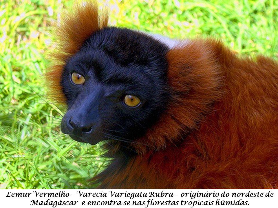Lemur Vermelho – Varecia Variegata Rubra – originário do nordeste de Madagáscar e encontra-se nas florestas tropicais húmidas.