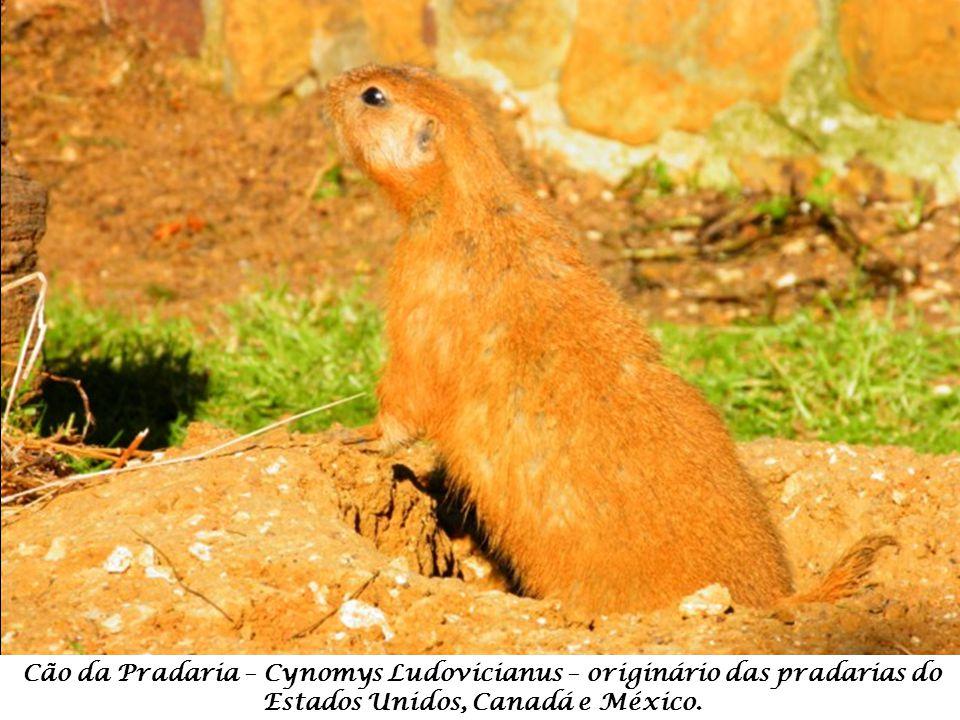 Cão da Pradaria – Cynomys Ludovicianus – originário das pradarias do Estados Unidos, Canadá e México.