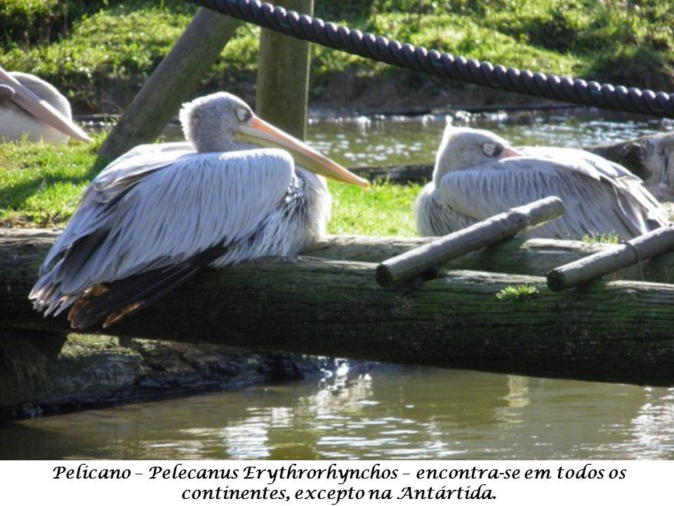 Pelicano – Pelecanus Erythrorhynchos – encontra-se em todos os continentes, excepto na Antártida.