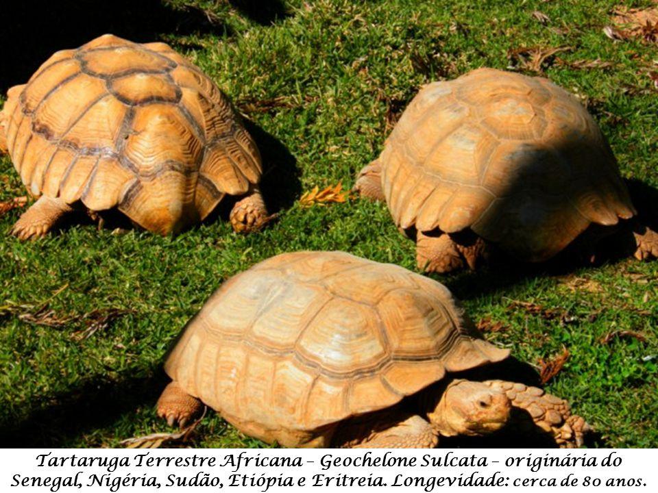 Tartaruga Terrestre Africana – Geochelone Sulcata – originária do Senegal, Nigéria, Sudão, Etiópia e Eritreia.