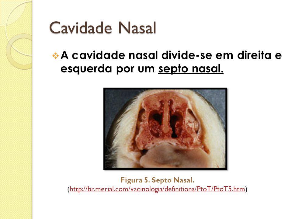 Cavidade Nasal A cavidade nasal divide-se em direita e esquerda por um septo nasal. Figura 5. Septo Nasal.