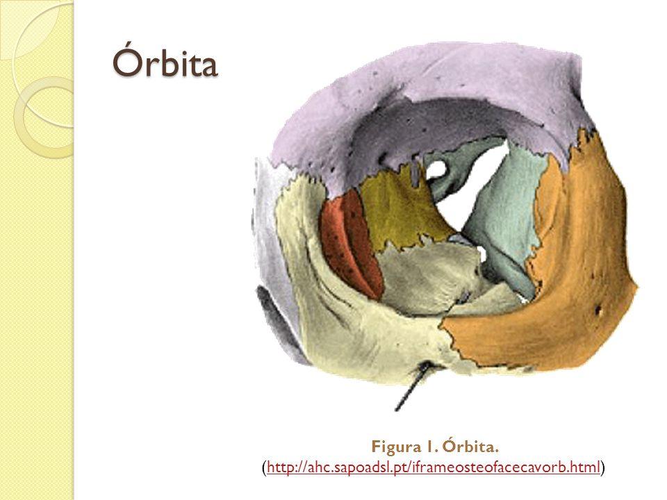 Órbita Figura 1. Órbita. (http://ahc.sapoadsl.pt/iframeosteofacecavorb.html)