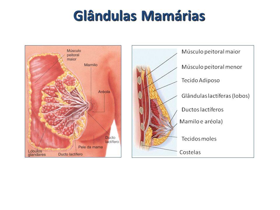 Glândulas Mamárias