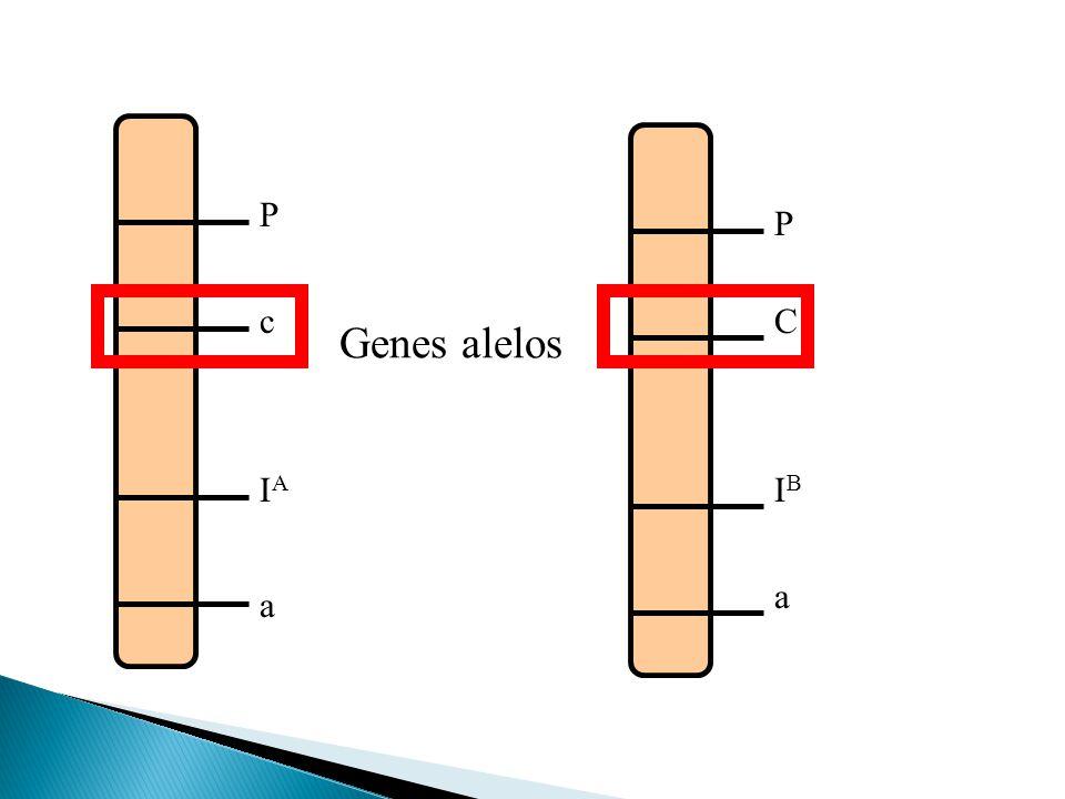P P c C Genes alelos IA IB a a