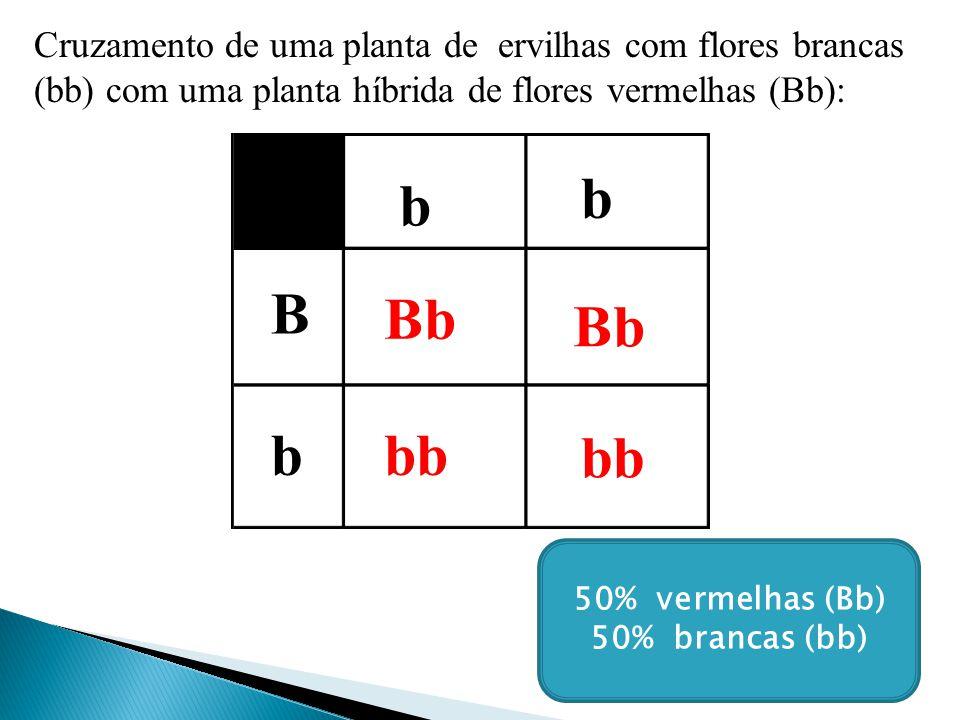 Cruzamento de uma planta de ervilhas com flores brancas (bb) com uma planta híbrida de flores vermelhas (Bb):