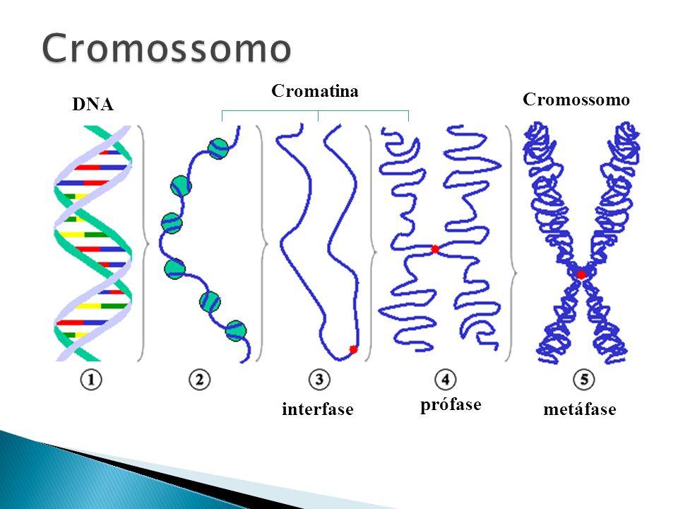 Cromossomo Cromatina Cromossomo DNA prófase interfase metáfase