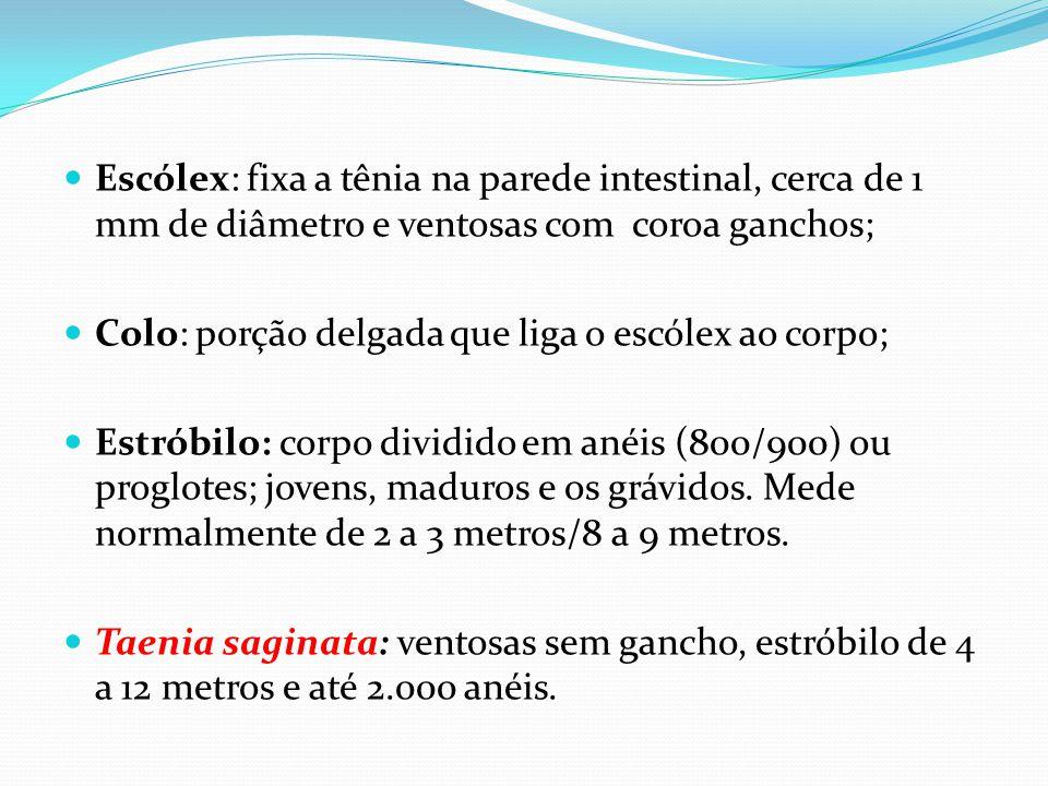 Escólex: fixa a tênia na parede intestinal, cerca de 1 mm de diâmetro e ventosas com coroa ganchos;