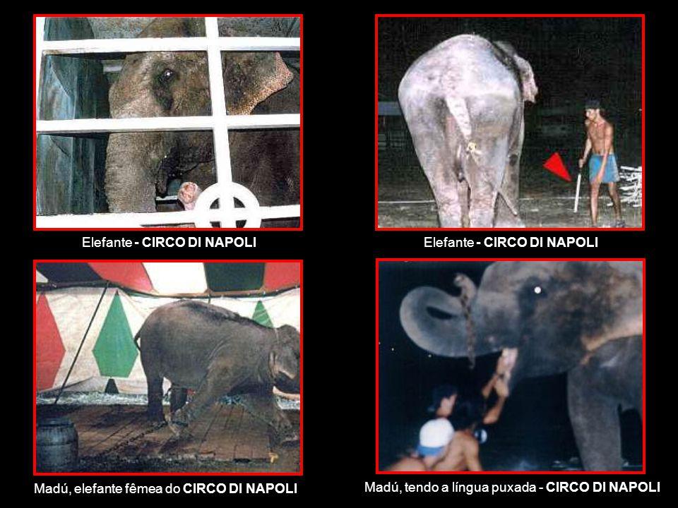 Elefante - CIRCO DI NAPOLI