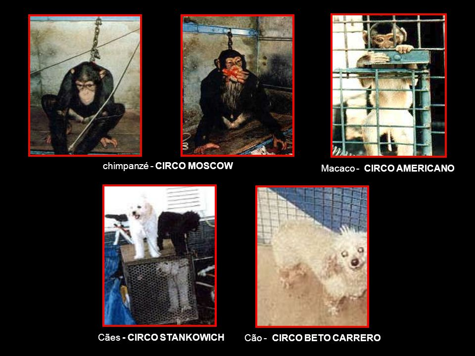 chimpanzé - CIRCO MOSCOW