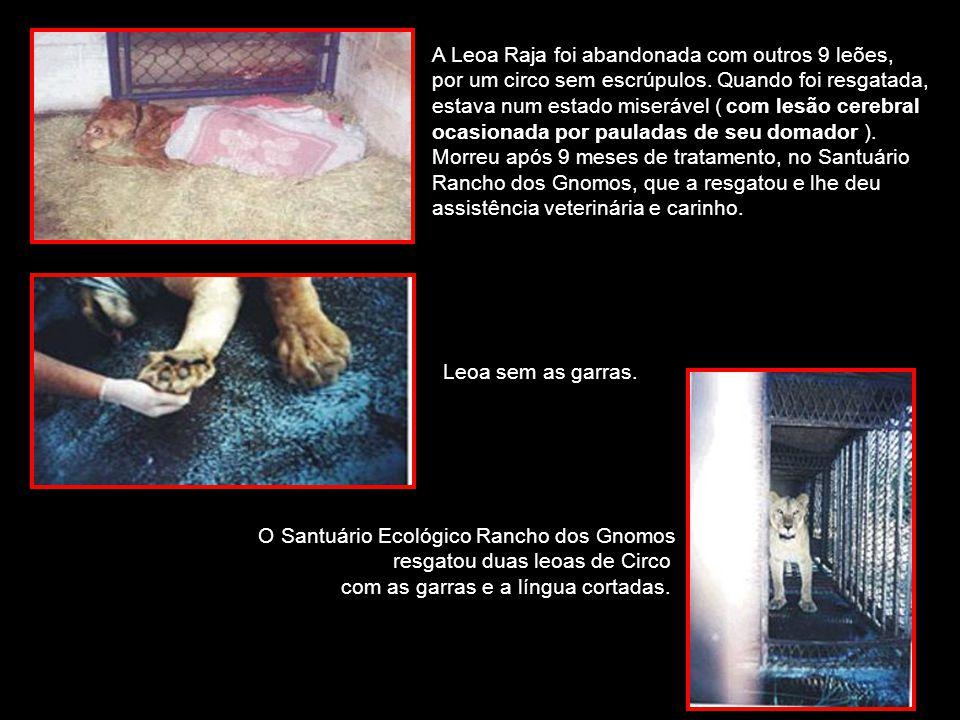 A Leoa Raja foi abandonada com outros 9 leões, por um circo sem escrúpulos. Quando foi resgatada, estava num estado miserável ( com lesão cerebral ocasionada por pauladas de seu domador ). Morreu após 9 meses de tratamento, no Santuário Rancho dos Gnomos, que a resgatou e lhe deu assistência veterinária e carinho.