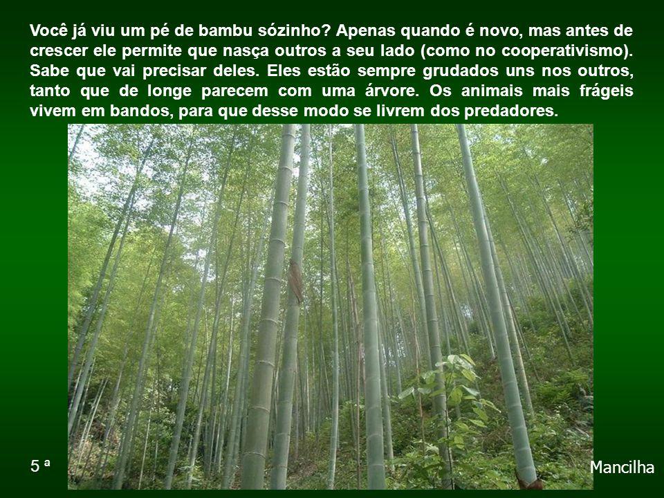 Você já viu um pé de bambu sózinho