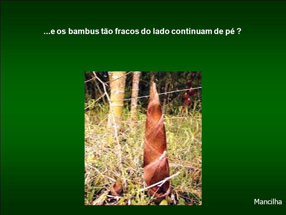 ...e os bambus tão fracos do lado continuam de pé