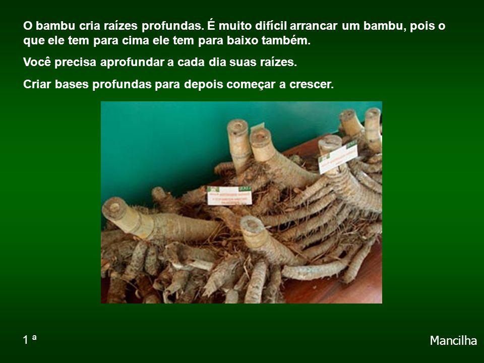 O bambu cria raízes profundas