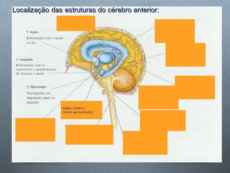 Localização das estruturas do cérebro anterior: