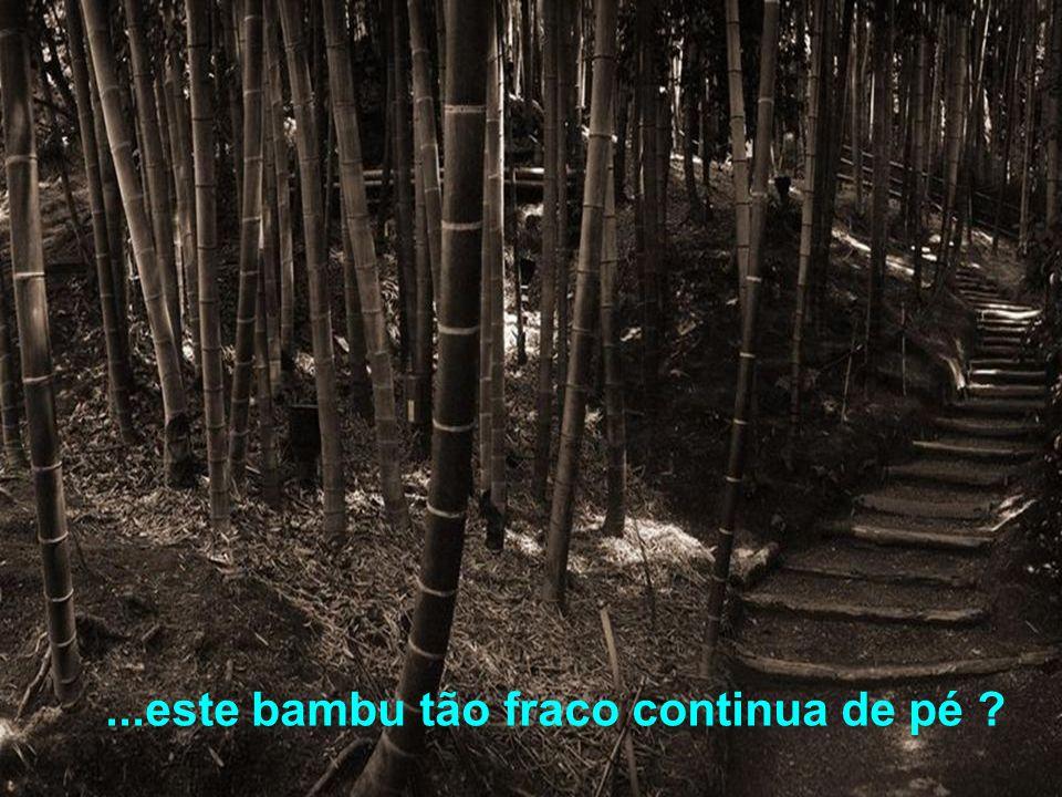 ...este bambu tão fraco continua de pé