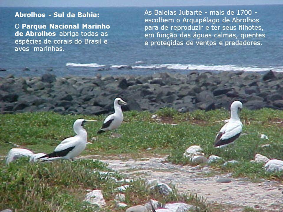 As Baleias Jubarte - mais de 1700 - escolhem o Arquipélago de Abrolhos para de reproduzir e ter seus filhotes, em função das águas calmas, quentes e protegidas de ventos e predadores.