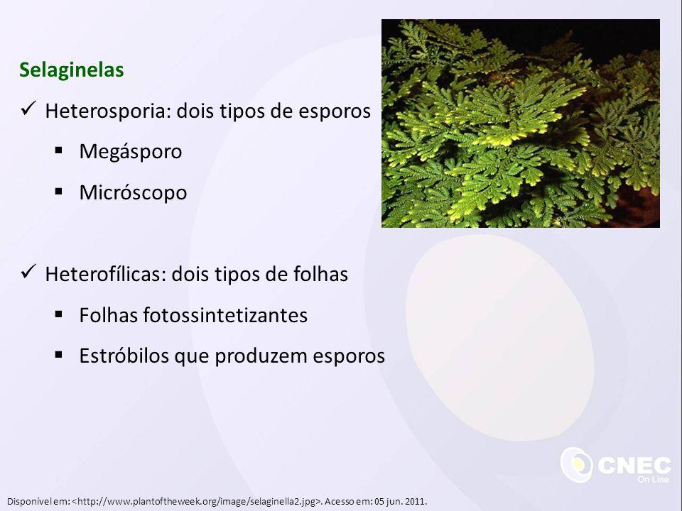 Heterosporia: dois tipos de esporos Megásporo Micróscopo