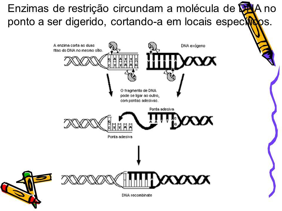 Enzimas de restrição circundam a molécula de DNA no ponto a ser digerido, cortando-a em locais específicos.