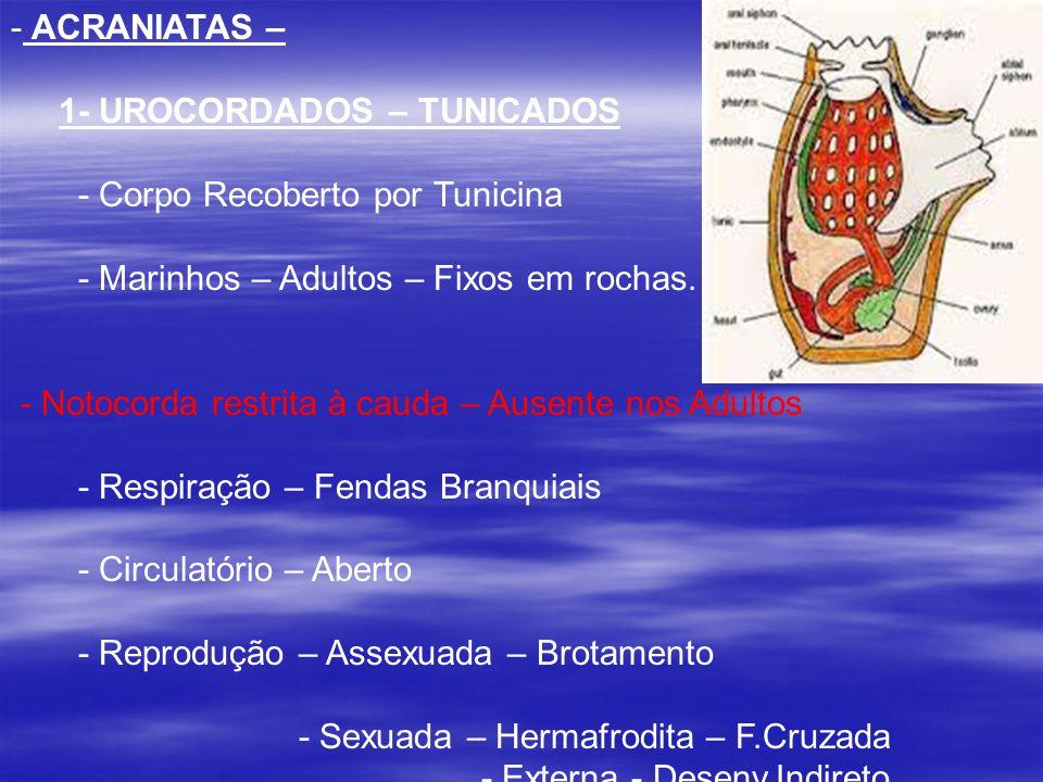 ACRANIATAS – 1- UROCORDADOS – TUNICADOS. - Corpo Recoberto por Tunicina. - Marinhos – Adultos – Fixos em rochas.