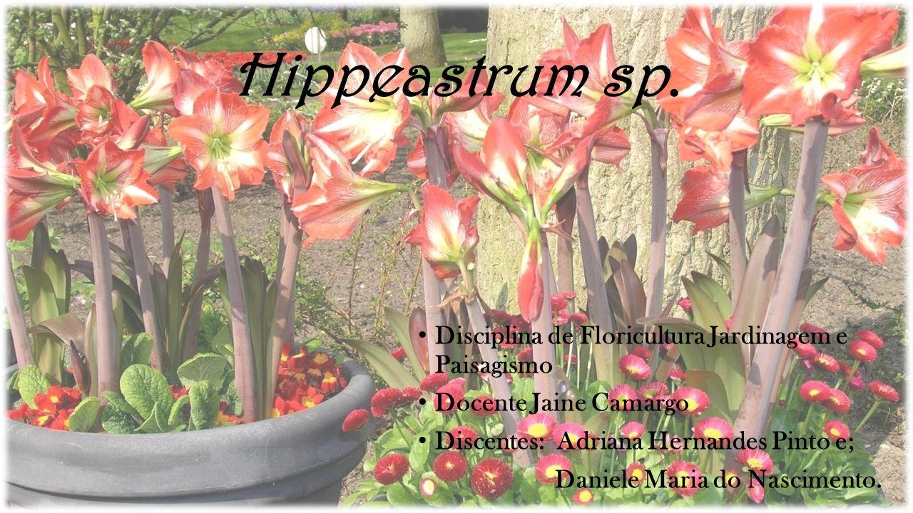 Hippeastrum sp. Disciplina de Floricultura Jardinagem e Paisagismo