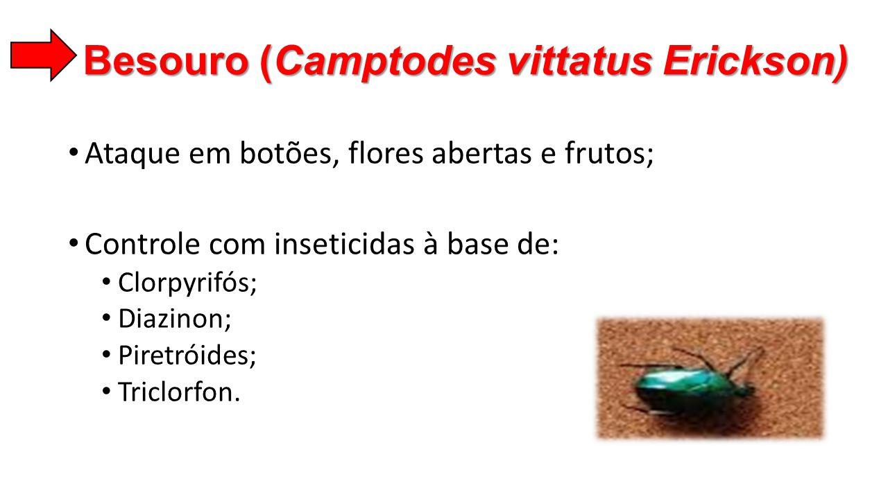 Besouro (Camptodes vittatus Erickson)
