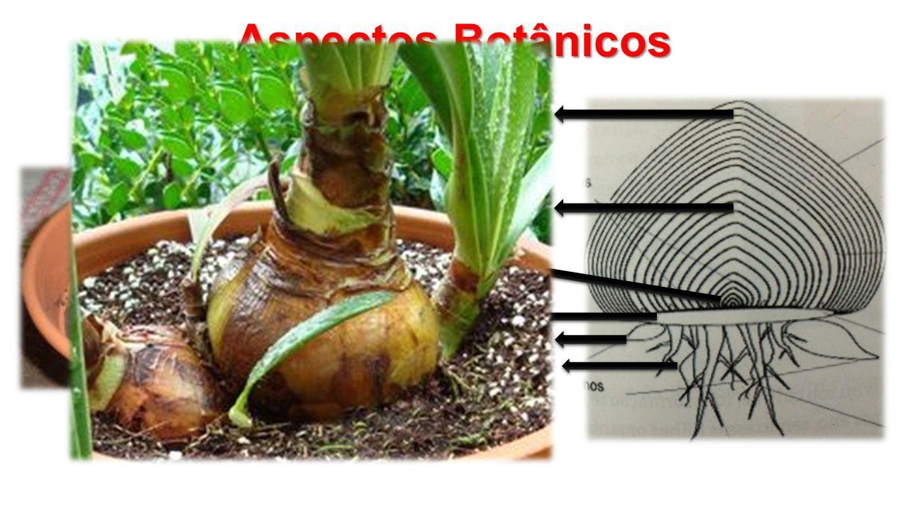 Aspectos Botânicos Escama externa Escama interna Gemas Prato Bulbilhos