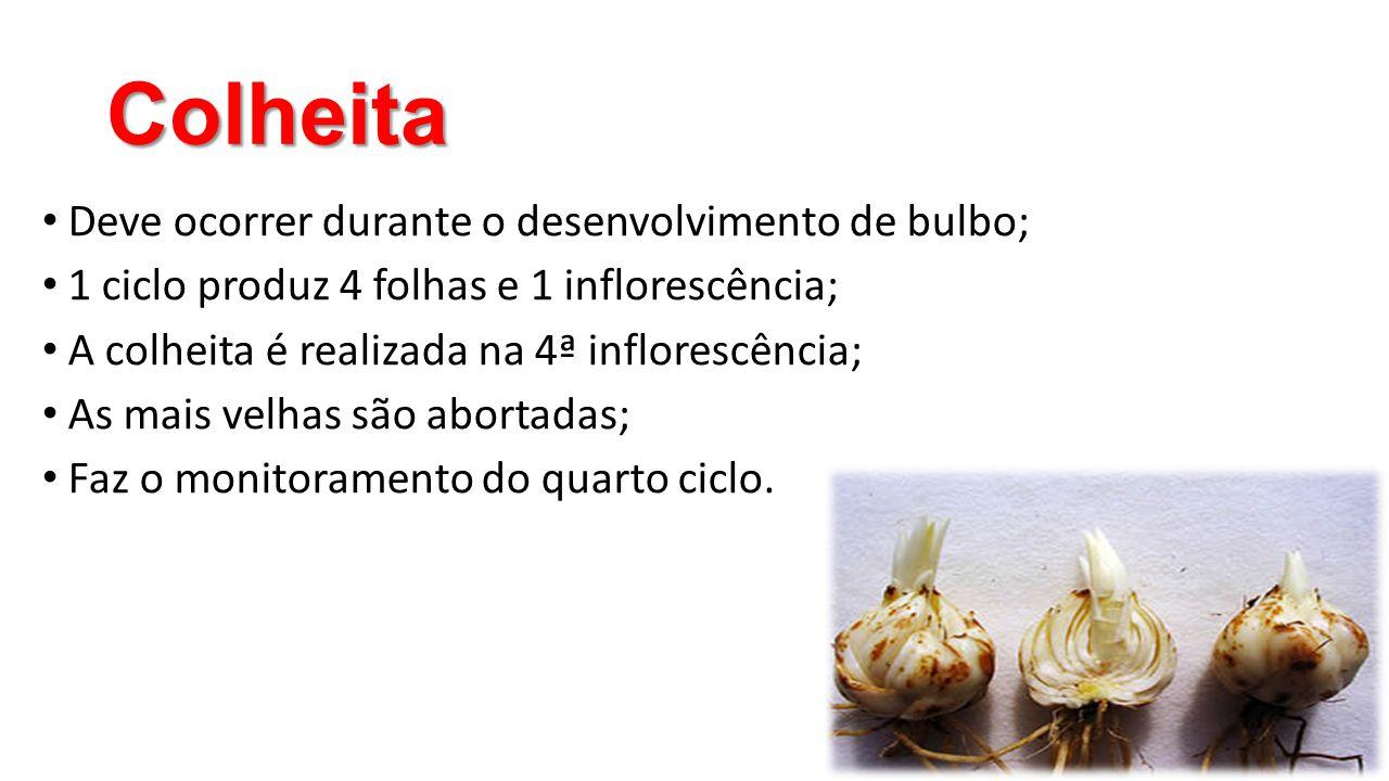 Colheita Deve ocorrer durante o desenvolvimento de bulbo;
