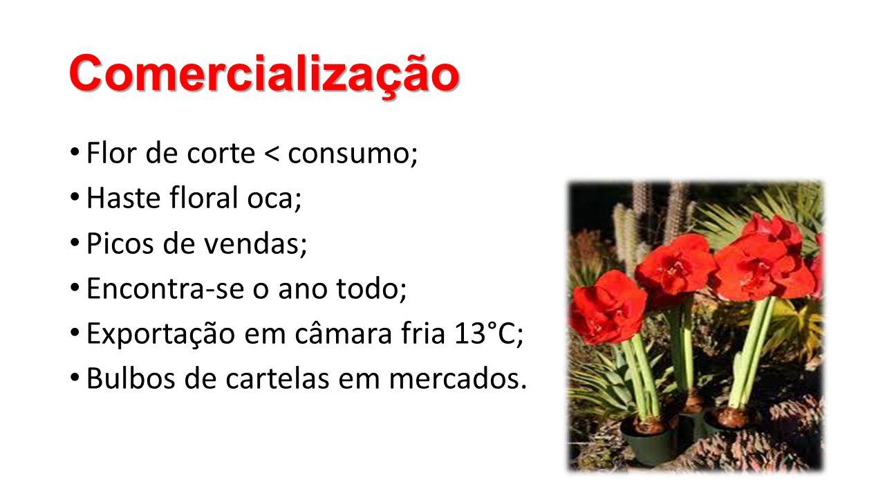 Comercialização Flor de corte < consumo; Haste floral oca;